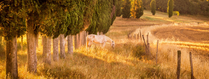 Wild horse amongst cypress trees